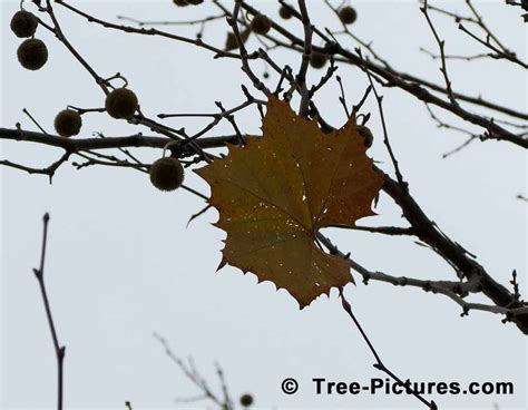 Photos, Pictures, Images, Facts On Platanus