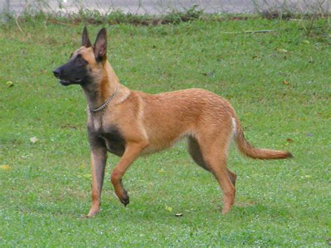 Belgian Malinois Vs German Shepherd Shedding by Shepherd Belgian Malinois Mix Breeds Picture
