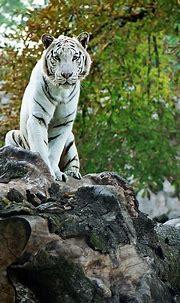 #photography #animals #wildlife #whitetigers   White tiger ...