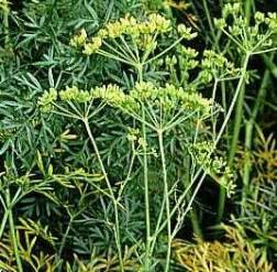 Herb of the Day-Asafoetida - Herbal Riot