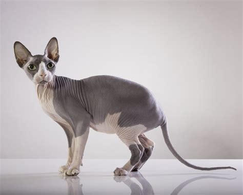 Sphynx Cat Breed Information, Pictures, Characteristics