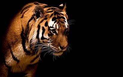 Tiger Tigre Animals Backgrounds Tigers Pantalla Fondo