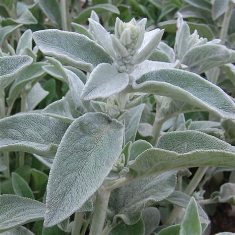lambs ears lamb s ears herb seed savers exchange