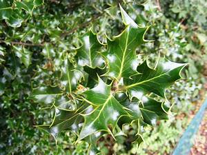types of holly bushes image search results