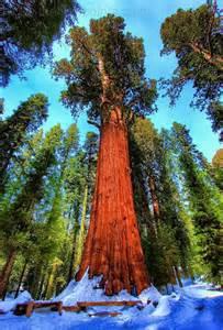 General Sherman Tree Sequoia National Park
