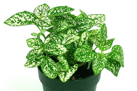 polka dot plant polka dot plant white 4 quot pot 10 per tray greenhouse to garden