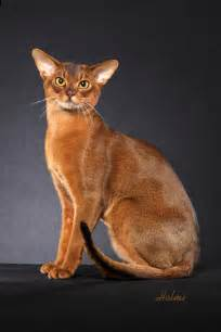 abyssinian cat for abyssinian abys