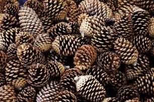 times of the islands dreams of pine cones aplenty