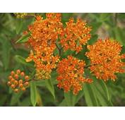 How To Cut Back Butterfly Milkweed  Home Guides SF Gate