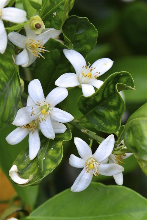 orange tree oranges hand flowers flower trees fruit pollinating garden pollination blossoms pollinate gardeningknowhow tips most process plant edible plants