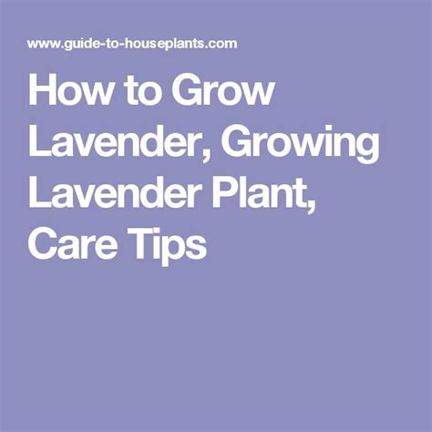 how to care for lavender bushes 25 b 228 sta lavender plant care id 233 erna p 229 pinterest