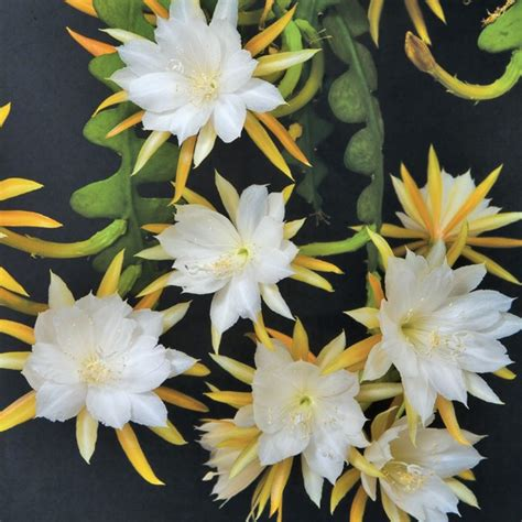 cactus orchid epiphyllum ric rac anguliger plants flower fragrant rack rick logees leaves blooming fragrance flowers tooth saw orchids cut