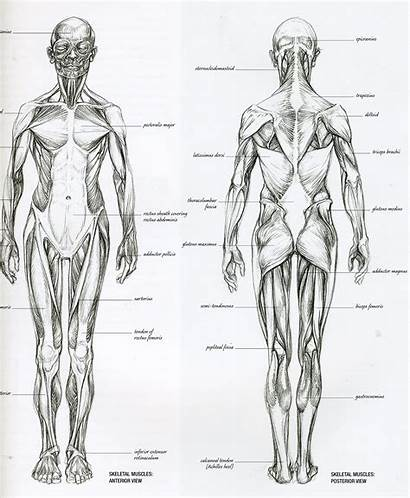 Anatomy Reference Figure Muscle Human Drawing Muscular