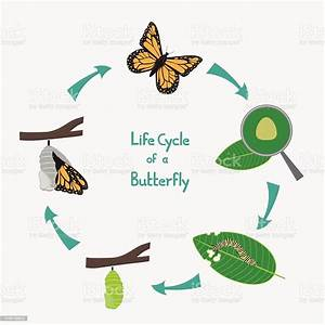 Life Cycle Of A Butterfly Diagram Stock Illustration