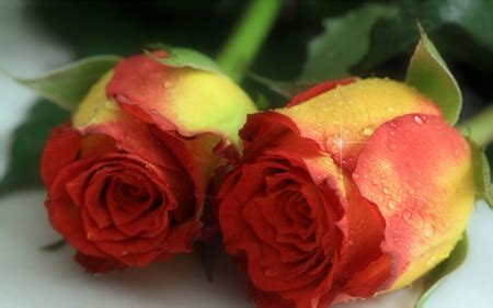 Amazing Roses  Flowers & Nature Background Wallpapers On