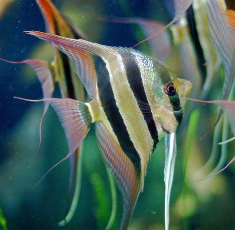 aquarium fish species  common