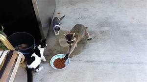 Raccoon Steals Cats' Food (Original) - YouTube