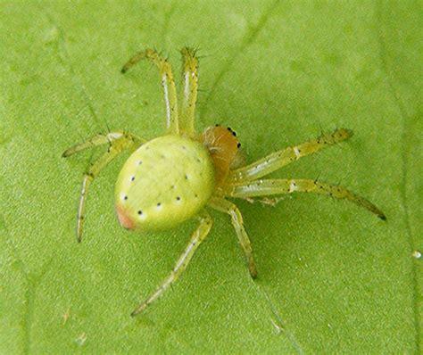 Garden Spider Green by Cucumber Green Orb Spider Naturespot