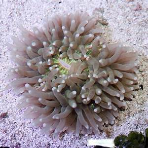 Plate Coral, Heliofungia actiniformis, Long Tentacle Plate ...