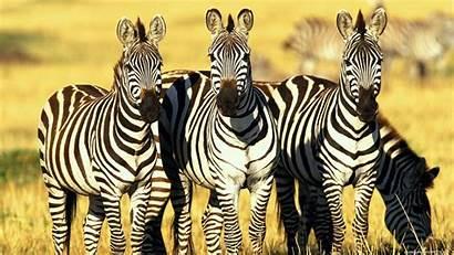 Zebra Computer Wallpapers Backgrounds