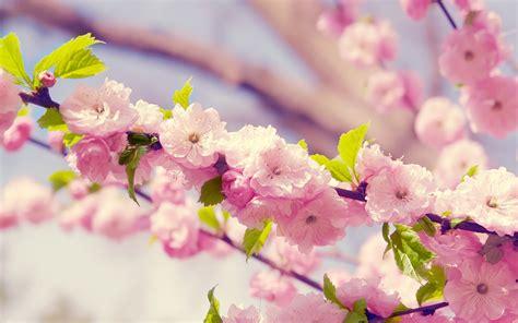 Japan Cherry Blossom Wallpaper Desktop Flower Hd Wallpapers Pixelstalk Net