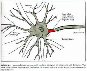 CH 11 Histology of the Neurons Axon