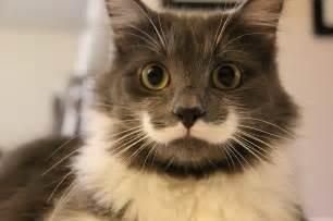 hamilton the cat meet hamilton the cat whose purr fect moustache