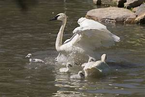 Four baby swan cygnets hatched at Lincoln Park Zoo ...