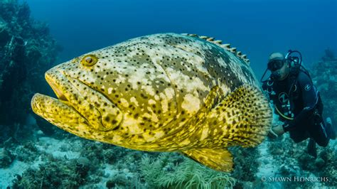 queen gardens reef cuba grouper caribbean goliath systems stand last national interacts diver huge