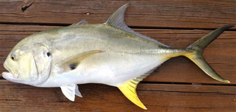 Jack, Crevalle Regulations