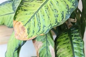 Schmucklilie überwintern Gelbe Blätter : pflanzen doktor gelbe bl tter braune blattspitzen an zimmerpflanzen ~ Eleganceandgraceweddings.com Haus und Dekorationen