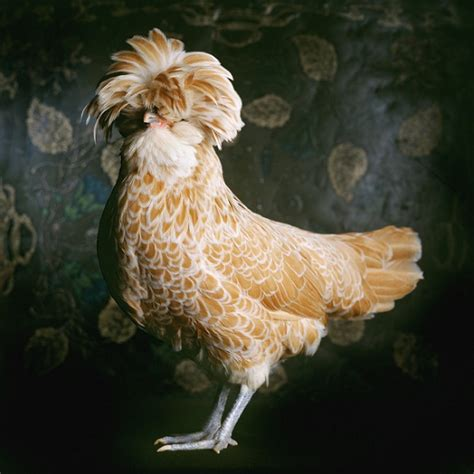 portraits  pretty chickens highlight  animals