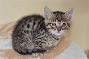 Brown spotted bengal kittens | Chichester, West Sussex ...