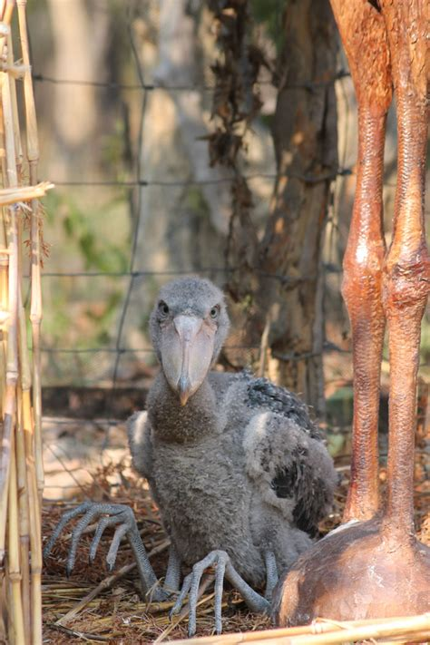 story  seymour  shoebill africa geographic