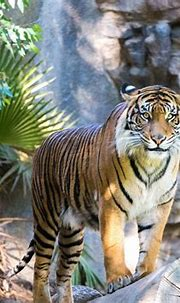 Fun Facts About Siberian Tigers. Are Siberian Tigers White ...