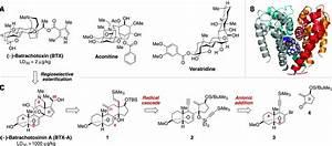 Asymmetric Synthesis Of Batrachotoxin  Enantiomeric Toxins