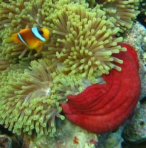 Red Sea Anemone Fish Inside Carpet Anemone Coral World