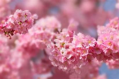 Sakura Blossom Spring 5k Cherry Wallpapers Tree
