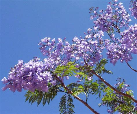 Jacaranda mimosifolia - Palma Verde Exoten V.O.F