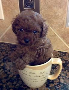 My little teacup poodle! ♥ #teacupdogslist #teacupdogs # ...