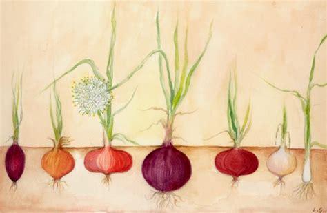 coltivare cipolla in vaso come coltivare la cipolla in vaso grow the planet