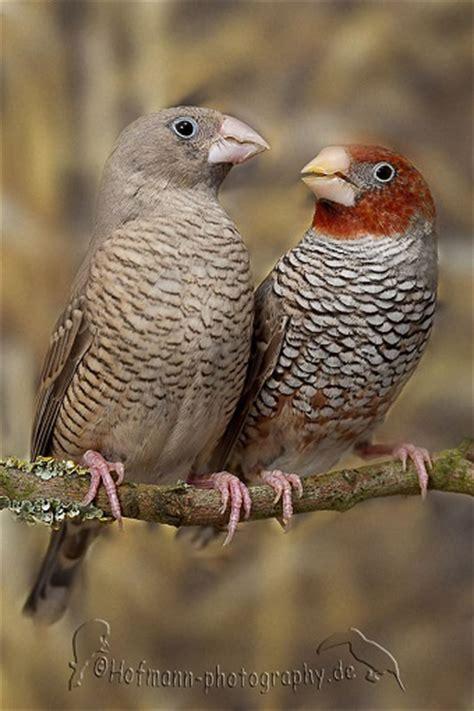 waxbill finch society species profiles