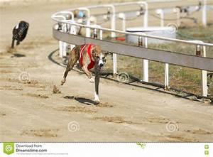 Greyhound Dogs Racing At Dog Race Court Editorial Stock ...