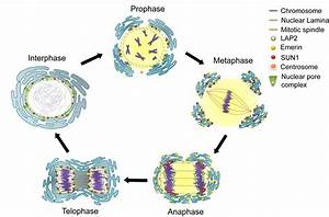 Mitosis And Meiosis Mitosis  Cells Can Be Divided In Unicellular
