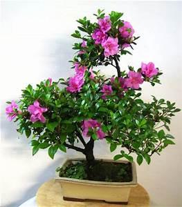 Bonsai Baum Schneiden : azalee carmens bonsai garten online shop f r bonsai pflanzen b ume bonsai d nger schalen ~ Frokenaadalensverden.com Haus und Dekorationen