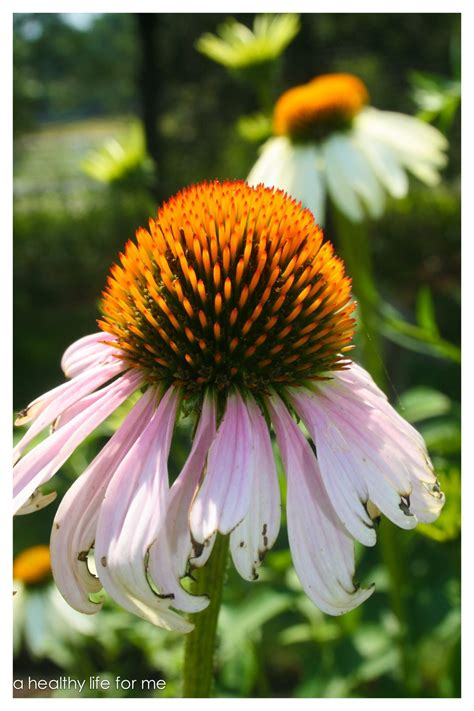 care of coneflowers how to plant and care for coneflower a healthy life for me