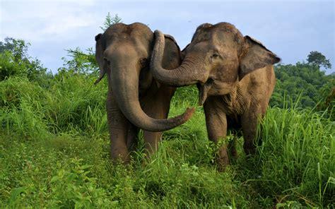 asian elephants  thailand hd wallpaper  desktop