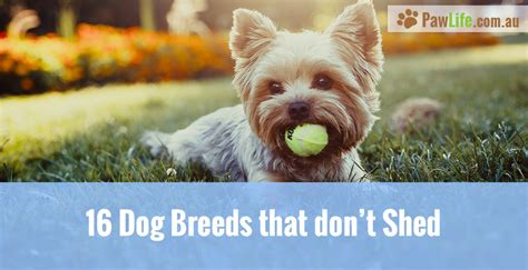 dogs that don t shed breeds that don t shed paw
