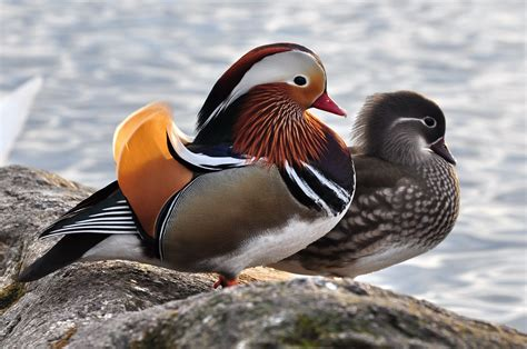 Beautiful Rare Duck Spotted In South Korea Is A Must See
