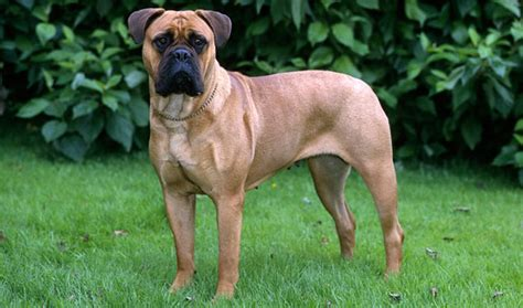 bullmastiff dog breed information